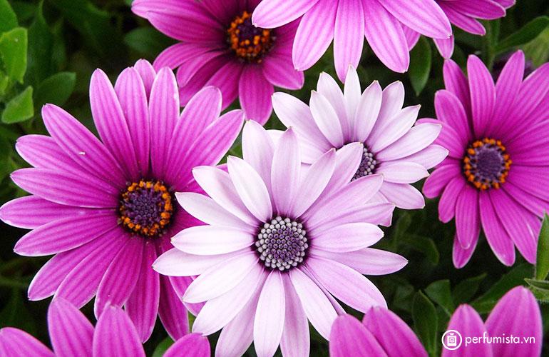 Hoa cúc (chi Chrysanthemum)