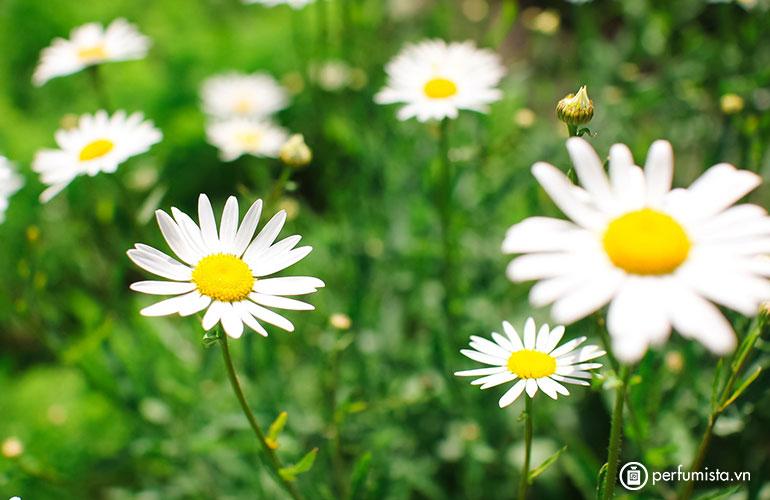 Hoa cúc La mã