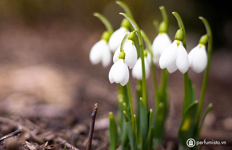 Hoa tuyết điểm