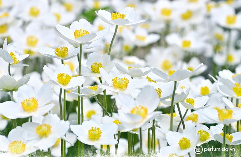 Hoa trắng