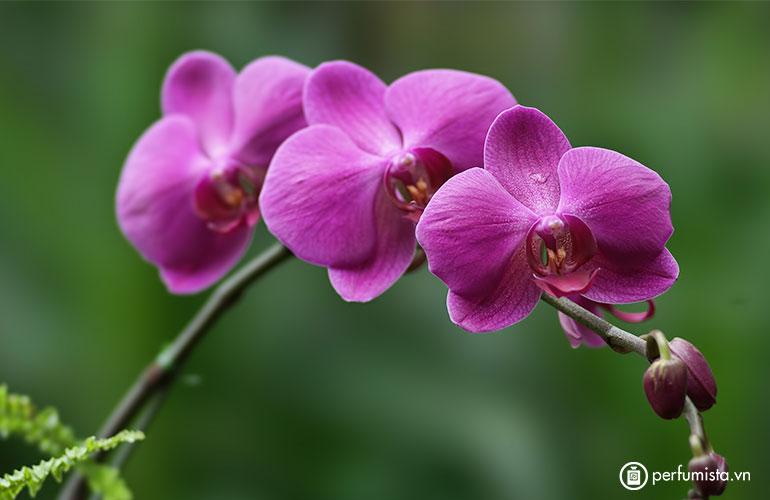 Hoa phong lan trắng